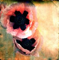 PinkPoppies04 by horstdesign