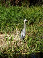 Blue Heron by Phillysoul11