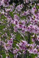 Peach Blossoms by LadyRStock