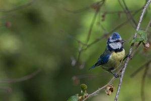 Blue tit by P1eTru5zka