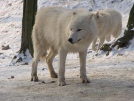 North American Arctic Wolf 70 by animalphotos