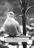 Collared Dove by handfat