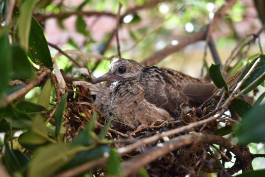 Mourning Dove Fledgling #2 by VoidedPhoenix