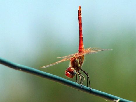 Red Dragonfly by anatmatos