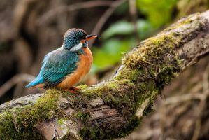 kingfisher by salwap