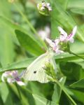 Cabbage White Butterfly by TheSleepyRabbit