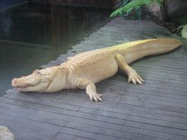 Albino Alligator Two by BVicius
