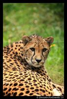 Cheetah Portrait III by TVD-Photography