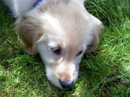 Golden retriever puppy by Kencir