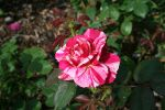 Rose 8 by JewelsStock