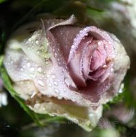 The Dream of a Rose by WhiteBook