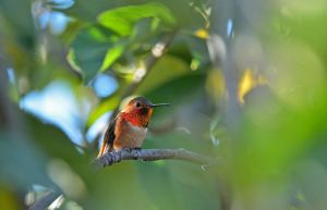 Hummingbird through the leaves by yo13dawg