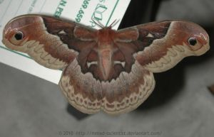 Large Silk Moth by mmad-sscientist