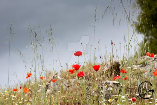 Poppies in a stormy weather... by PhG-Art