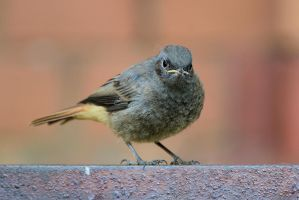 Black redstart by Rajmund67