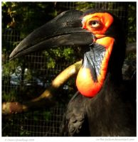 Ground Hornbill by In-the-picture