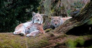 Lynx   Luchs 5 by bluesgrass