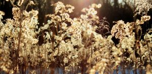 Kind Regards from Winters Sun - Grasses by Lost-this-Game