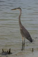 Heron Wading 2 by ShareLife
