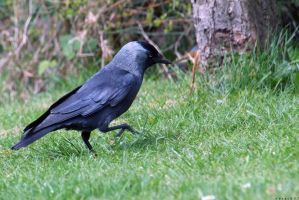 The Jackdaw by horai