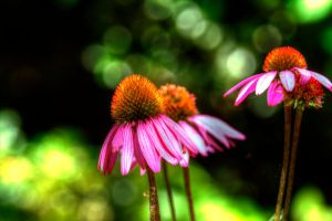 Cone Flower by dementeddiva23