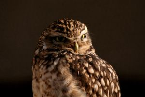 Burrowing Owl 2 by Tinap