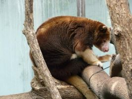 Tree Kangaroo 01 by Unseelie-Stock