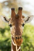 Giraffe Portrait with Red-billed Oxpecker by DaSchu