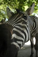 Photogenically Zebra by DarkTara