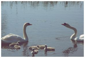Swan couple with cygnets by UnrehearsedSplendour