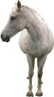 White Horse PNG by Nitwitbrit