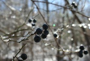 Cold Berries by lowjacker