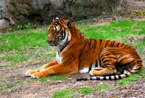 TIGER LAYING by TlCphotography730