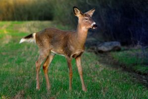 White-tailed deer sampling spring by MichelLalonde