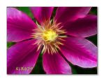 Clematis by KLR620
