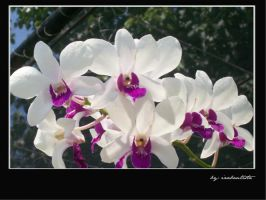 orchids by rizariz