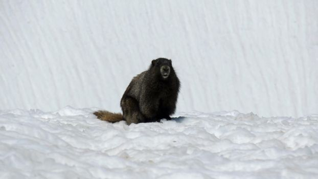 Marmot in the Snow by videodude1961