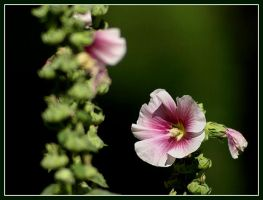 Hollyhock by Tragopogon