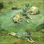 Wolves'nap. by Zwoing