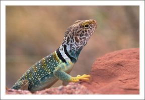 Crotaphytus collaris by Ballisticvole