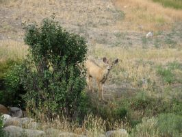 Yellowstone Deer by MarksA-C