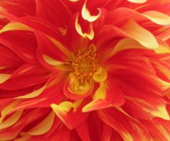 Red and Yellow Flower by Singing-Wolf-12