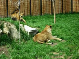 Lion 2 -- Aug 2009 by pricecw-stock