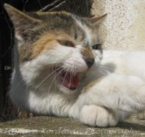 angry cat by TamaraLejla