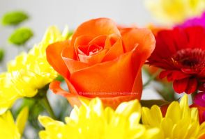 Orange Rose in Bouquet by Hitomii