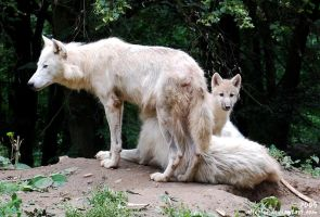 Arctic wolves: Mum and child by Allerlei