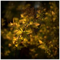 Gardener's gold by Isyala