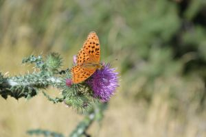 The butterfly liking the thistle by A1Z2E3R