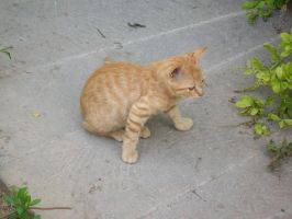 Stray Kitten prepared to run by Miss-Sweetlivvy