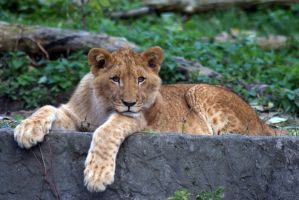 Young Lion by Vertor